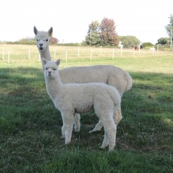 sooty with cria