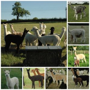 alpacas_for_sale